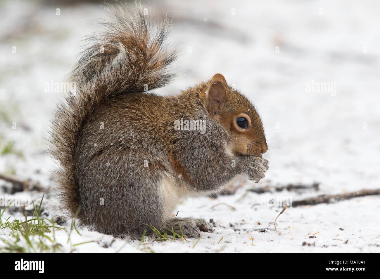 Eastern Grey Squirrel (Sciurus carolinensis) feeding on nuts in the snow - Stock Image