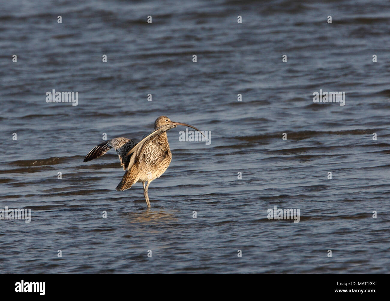 Far Eastern Curlew (Numenius madagascariensis) adult standing in shallow water with wings raised  Beidaihe, Hebei, China   May - Stock Image