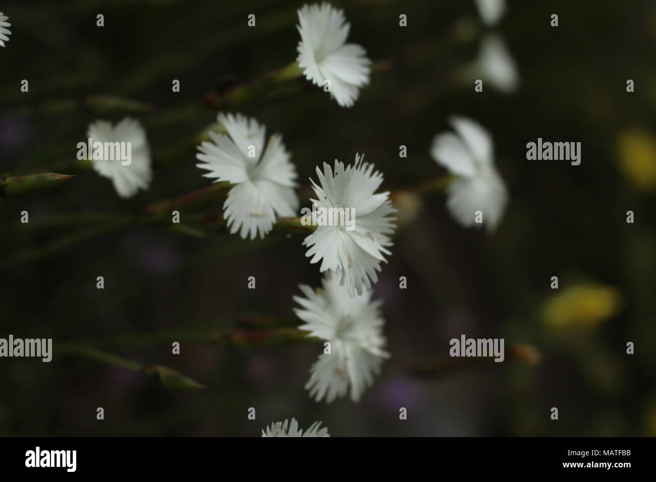 Small White Flowers Of Wild Carnation Species Stock Photo 178789167