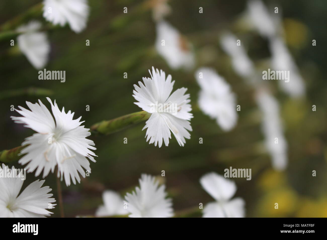 Small White Flowers Of Wild Carnation Species Stock Photo 178789171