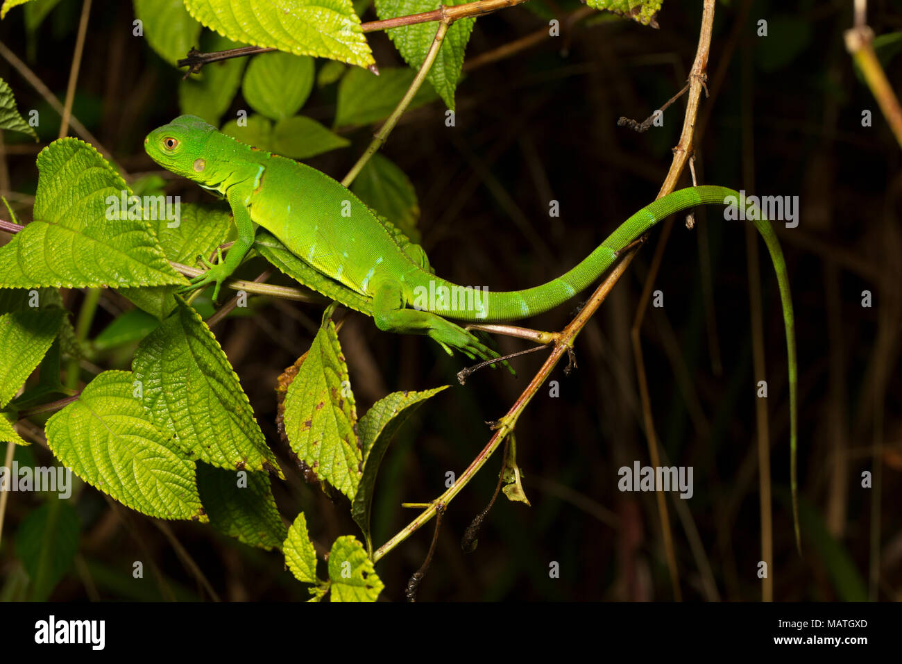 A juvenile green iguana, Iguana igunana, in the jungle of Suriname, near Bakhuis, South America - Stock Image