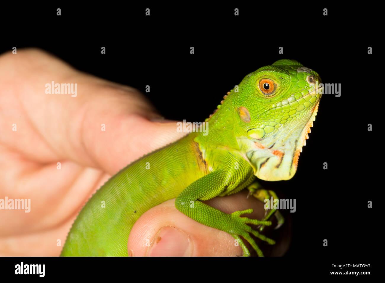 A juvenile green iguana, Iguana igunana, in the jungle of Suriname, near Bakhuis, South America - Stock Image