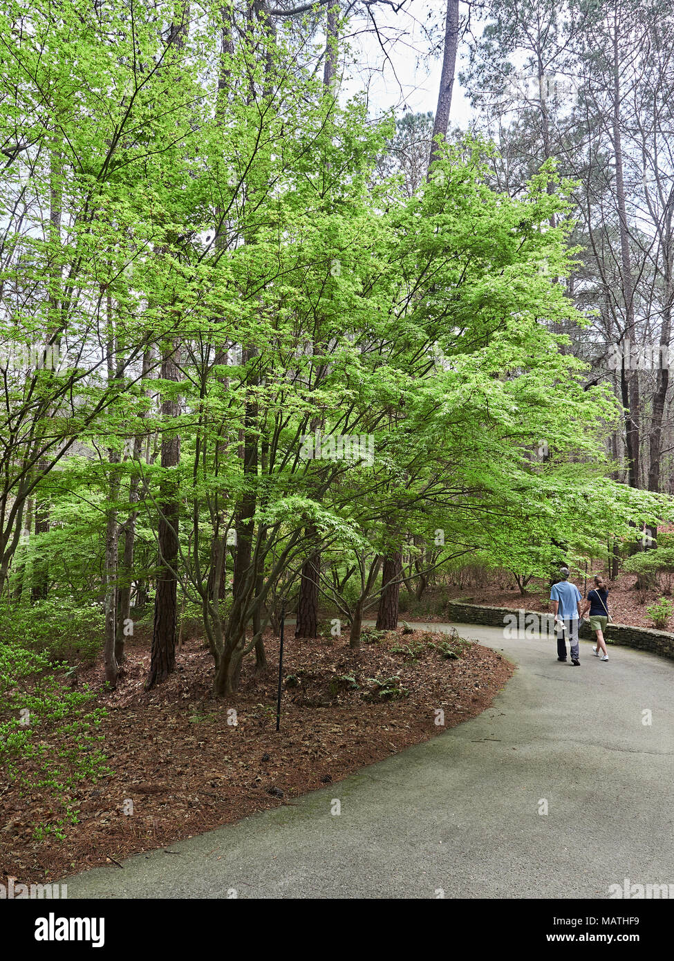 Two people, man and woman, walking past a stand of Japanese Maple, Acer Palmatum, trees in a natural setting in Callaway Gardens, Pine Mountain GA USA - Stock Image