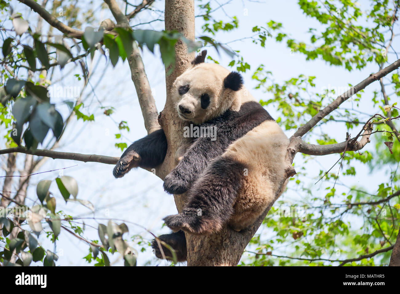 Giant panda sleeping in a tree, Chengdu, China - Stock Image