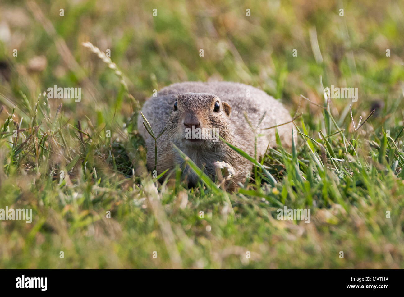 European ground squirrel (Spermophilus citellus), European souslik Stock Photo