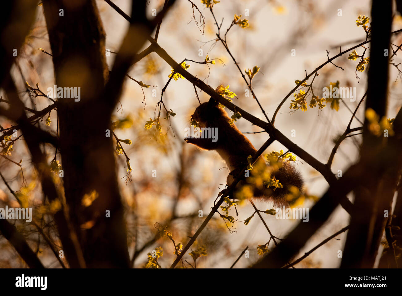 Red Squirrel, Sciurus vulgaris, Sciuridae - Stock Image