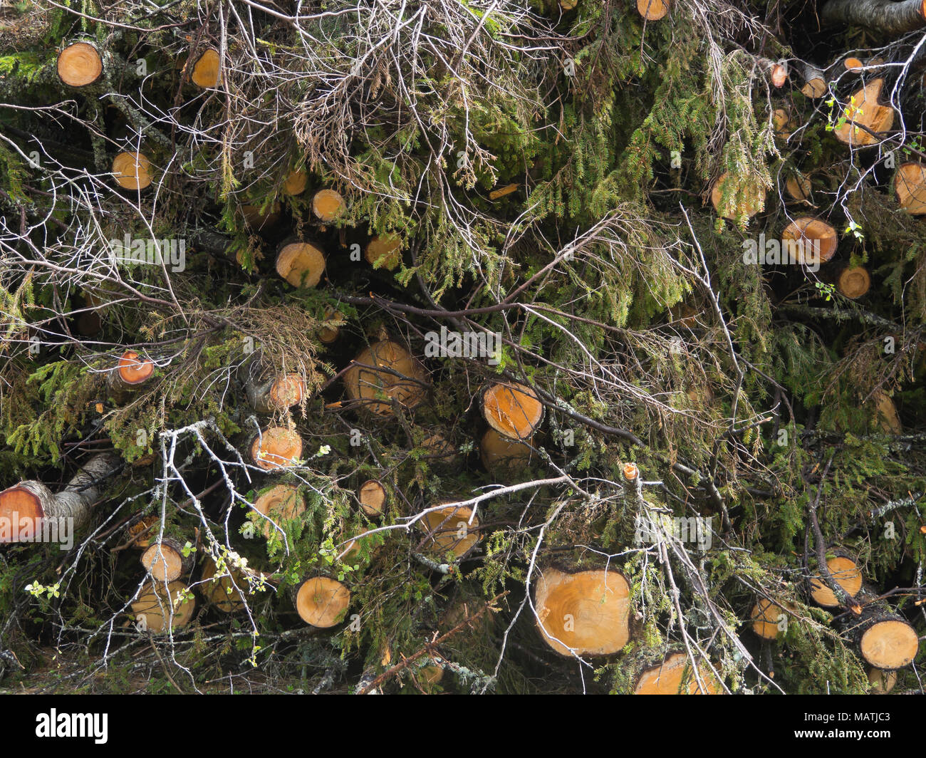 Tree trunks, mainly spruce stacked with their branches and leaves after felling in Ostmarka, Oslo Norway - Stock Image