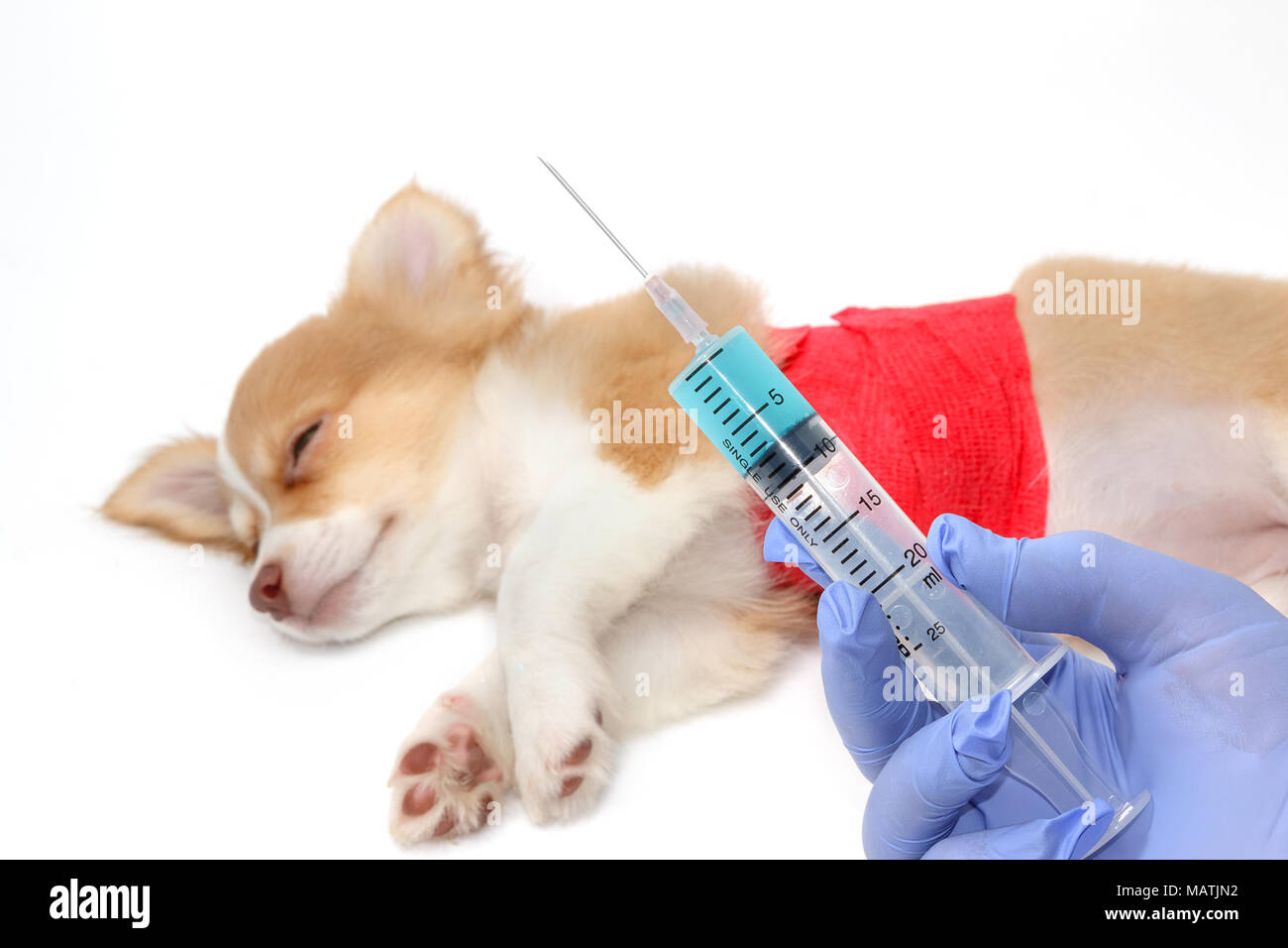 Veterinary is giving the vaccine to the Chihuahua puppy dog - Stock Image
