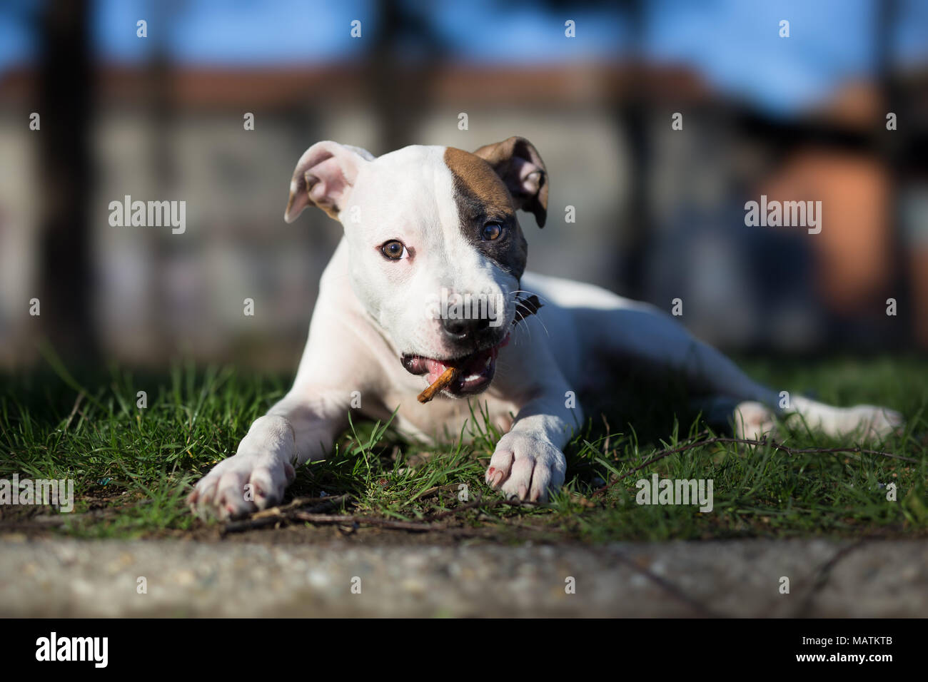 American staffordshire terrier puppy chewing stick - Stock Image