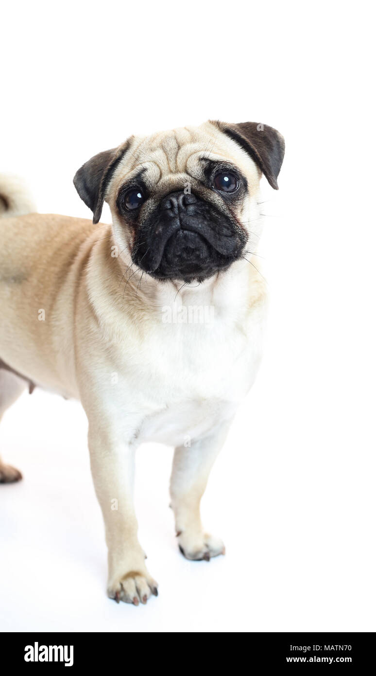 Light fawn pug in a studio with a white background - Stock Image