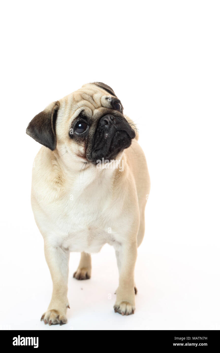 Light fawn pug in a studio with a white background Stock Photo