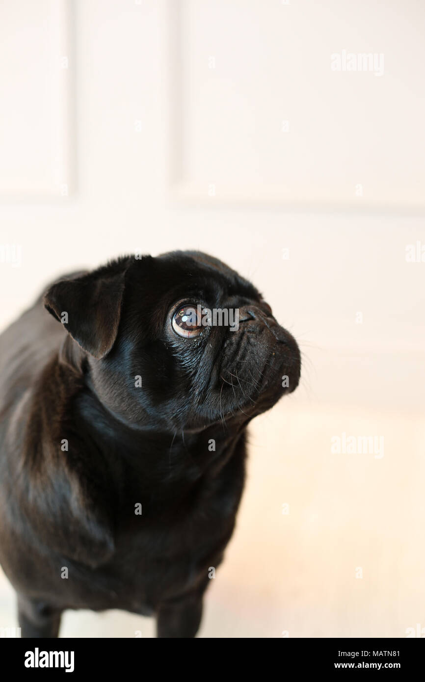 Black pug in a studio with a white background - Stock Image