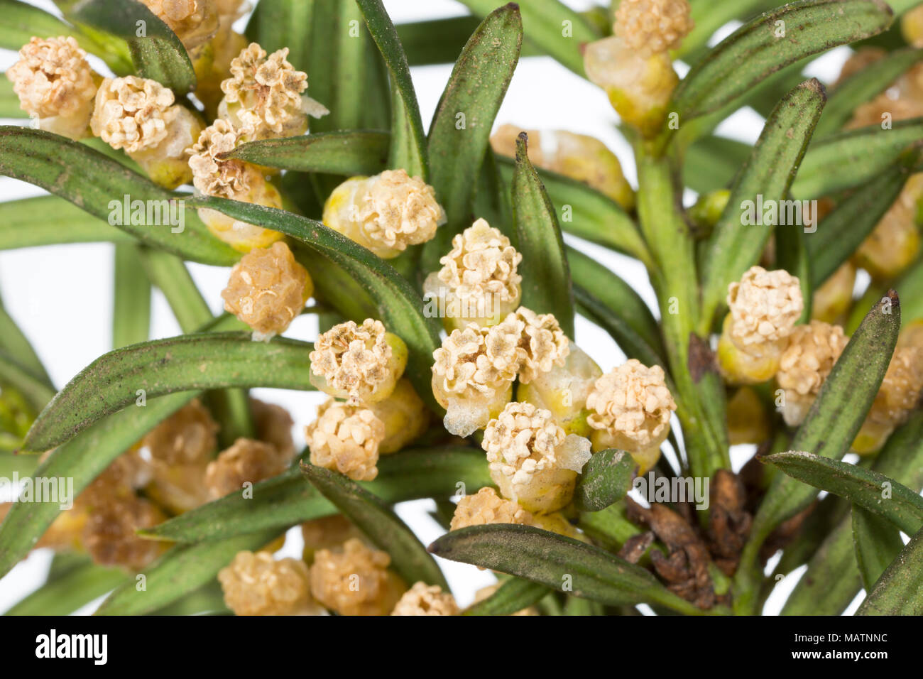 Clusters of male flowers of the common yew tree Taxus baccata, March 2018 Dorset England UK - Stock Image