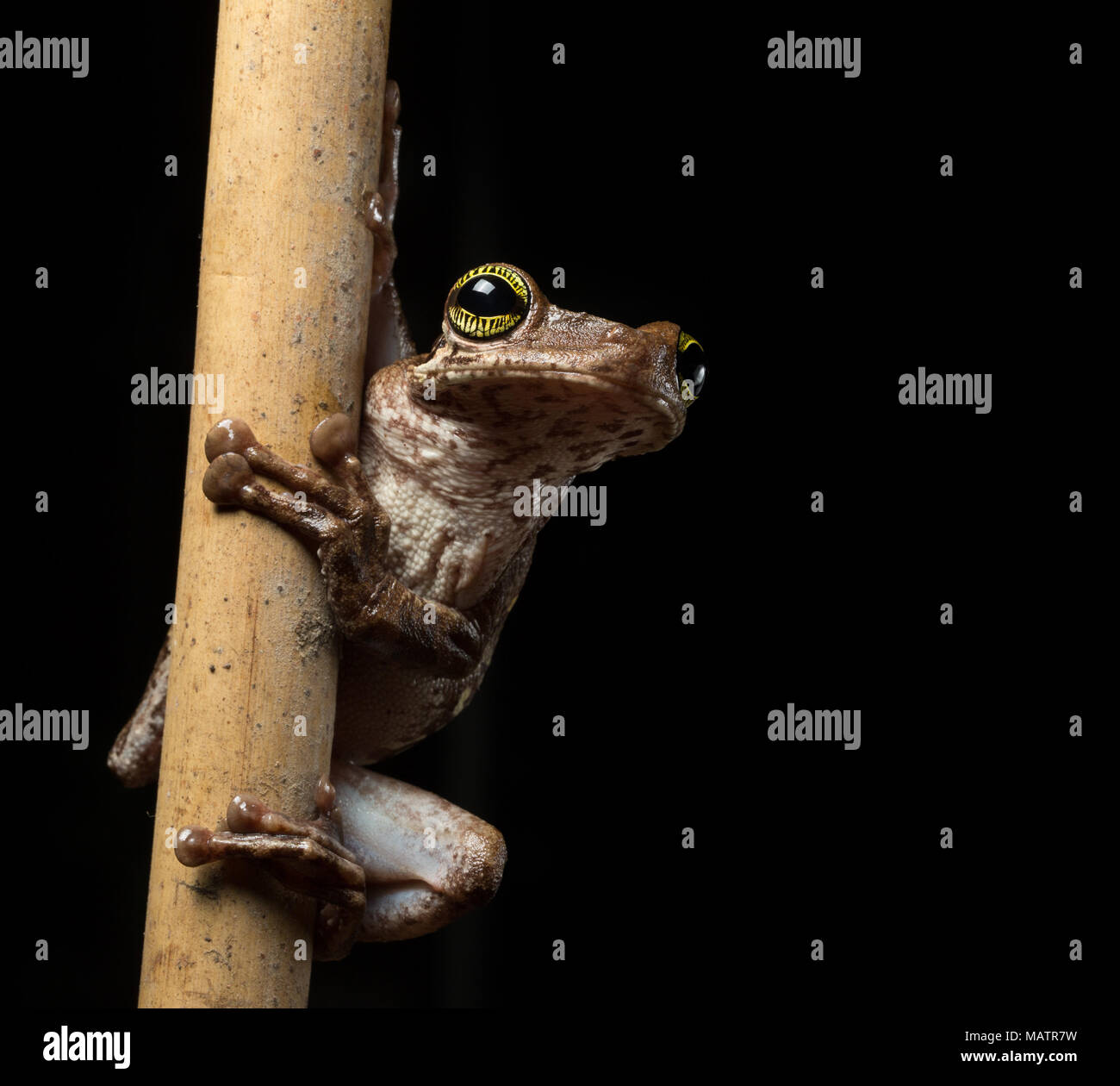 Tropical tree frog, Osteocephalus taurinus. A treefrog from the Amazon raon forest with beautiful colored eyes. Macro of an exotic amphibian at night. - Stock Image