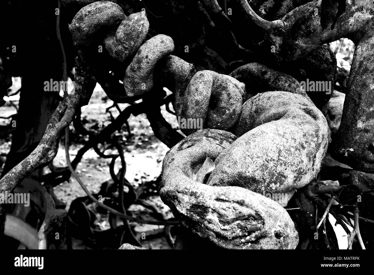 Tree branches curling around each other, Cambodia Stock Photo