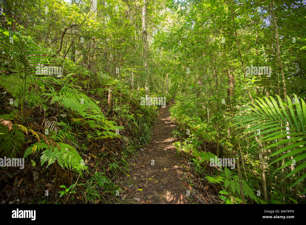 Dense emerald forests with ferns and bracken severed by narrow walking trail in Conondale Ranges National Park  Queensland Australia - Stock Image