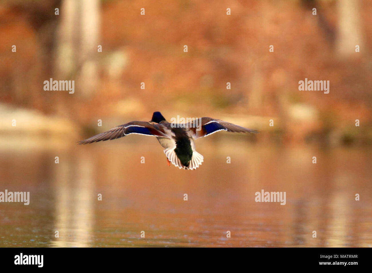 A mallard duck flying in to land on a lake in the late afternoon - Stock Image