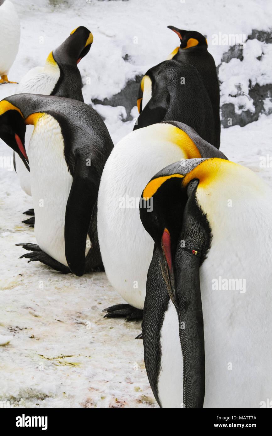 Penguins in Asahikawa Zoo - Stock Image