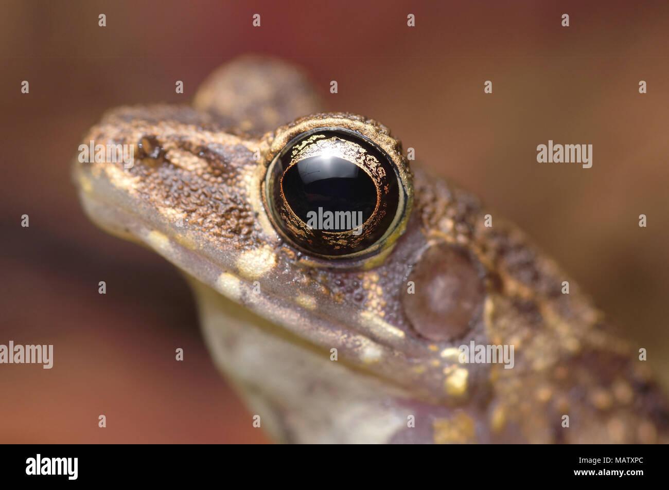 Brown marsh frog Hylarana baramica - Stock Image