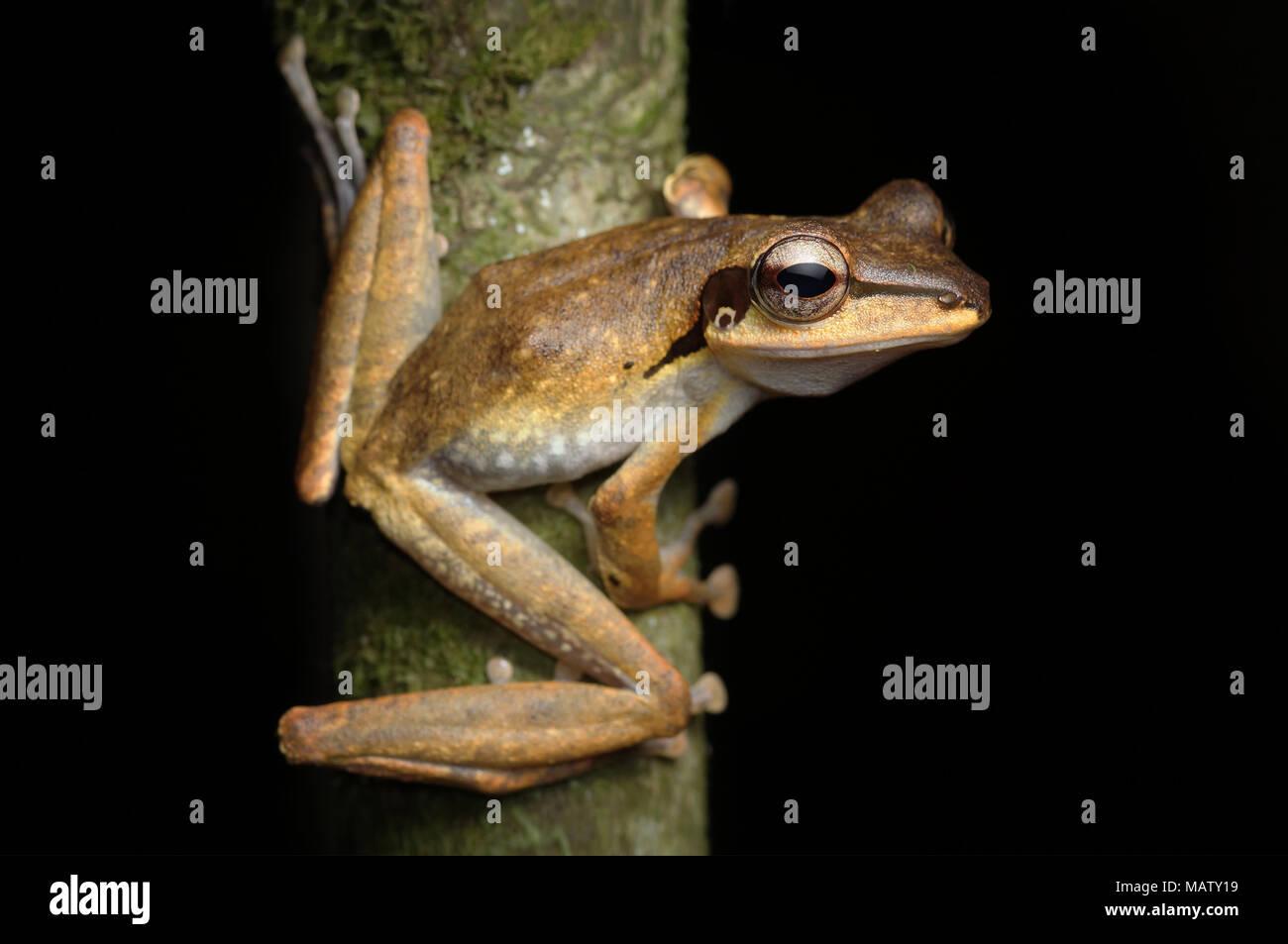 Dark eared tree frog Polypedates macrotis - Stock Image