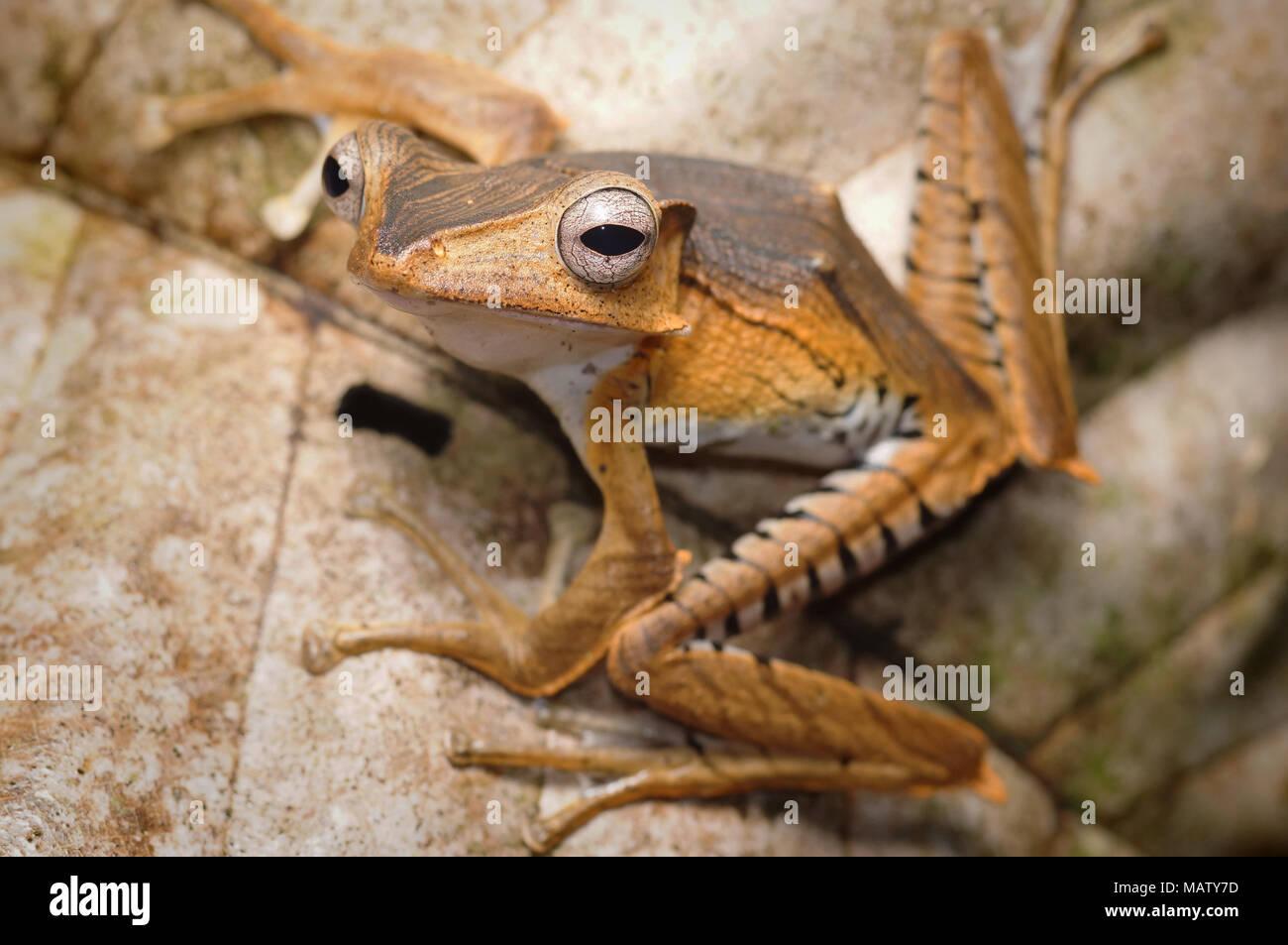File eared frog Polypedates otilophus - Stock Image