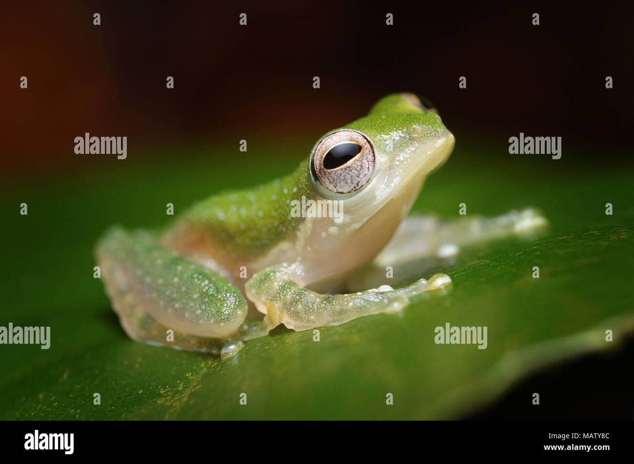 White-eared tree frog Rhacophorus kajau - Stock Image