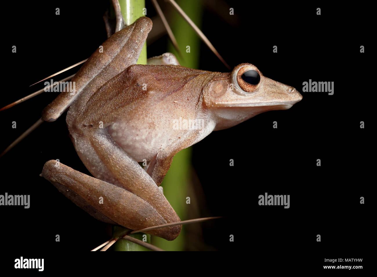 Collett's tree frog Polypedates colletti - Stock Image