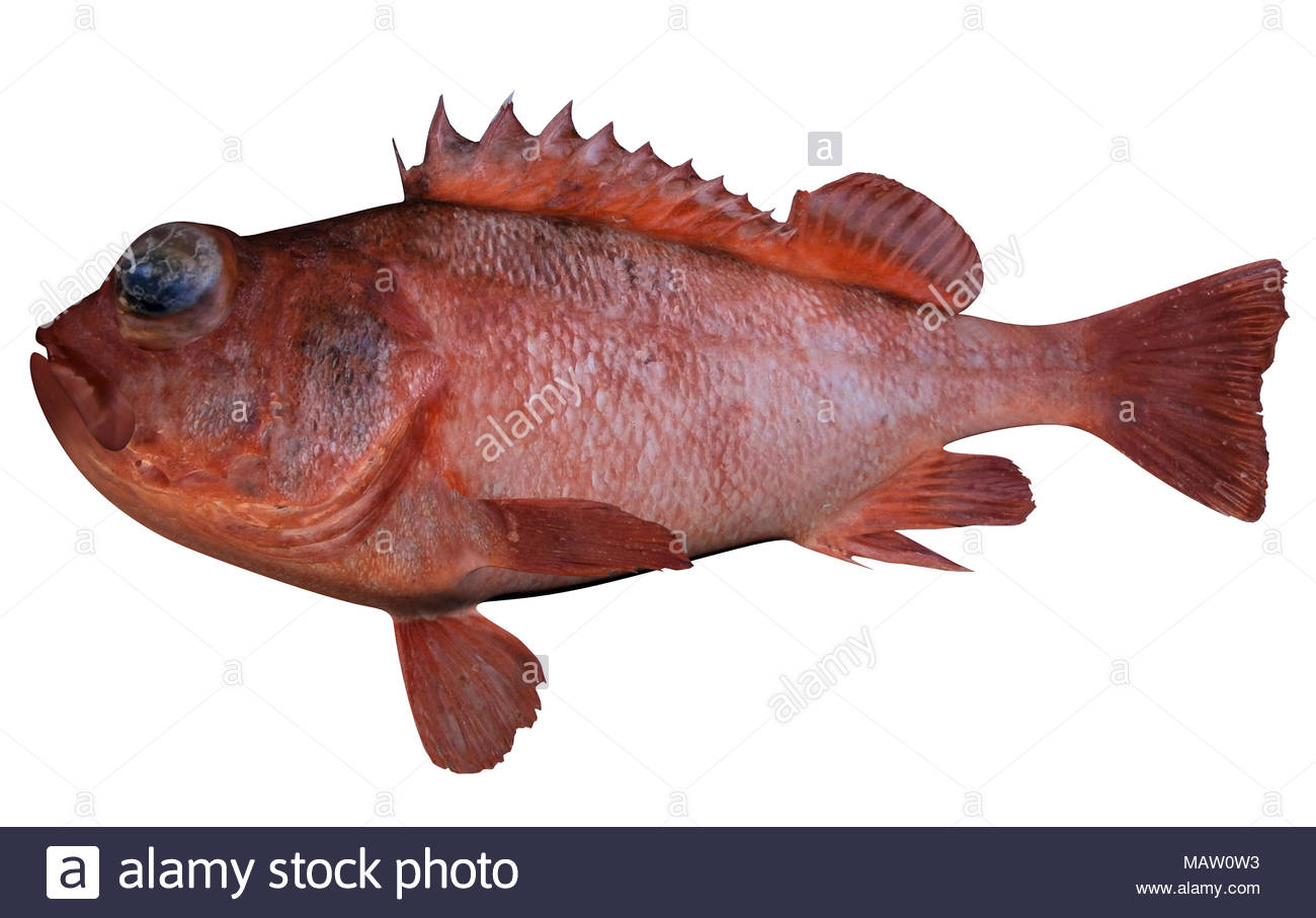 Aurora Rockfish fish illustration isokated - Stock Image