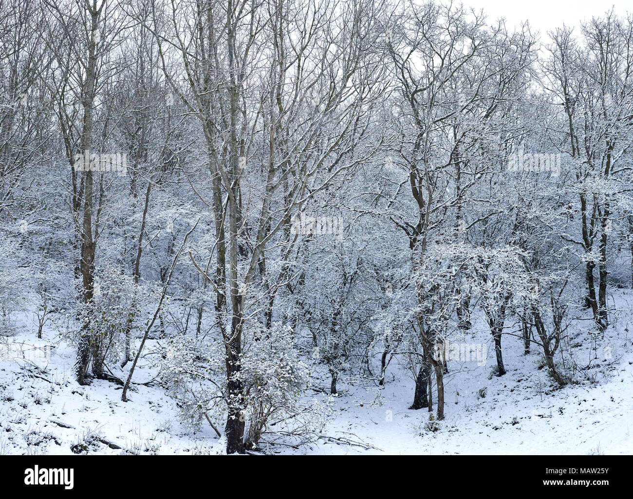 Forest landscape with trees covered with snow during wintertime in the dunes at the coast of The Hague, Netherlands. Westduinpark is a dune area - Stock Image