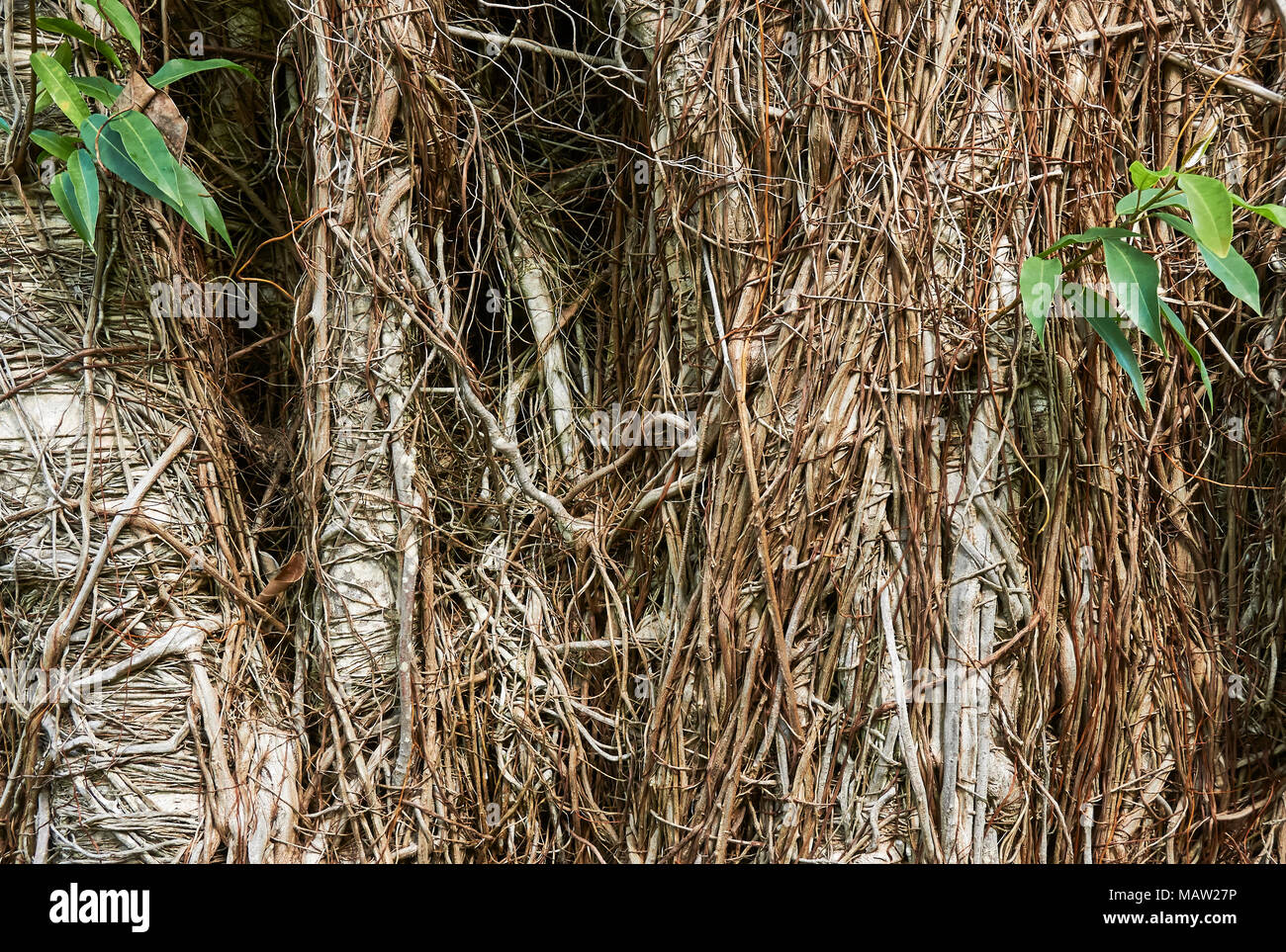 The confused tangle of Bamboo roots and shoots on Tree's near by at the Tenerife Botanical Gardens in the Canary Islands. - Stock Image