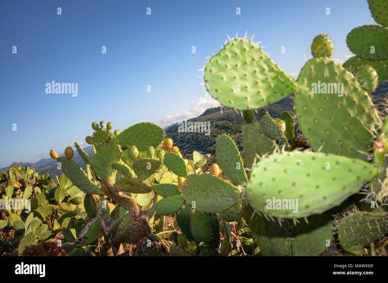 Prickly pears, widespread in the wild throughout the south of Italy. Tasty and sweet. The peel contains almost invisible thorns! - Stock Image