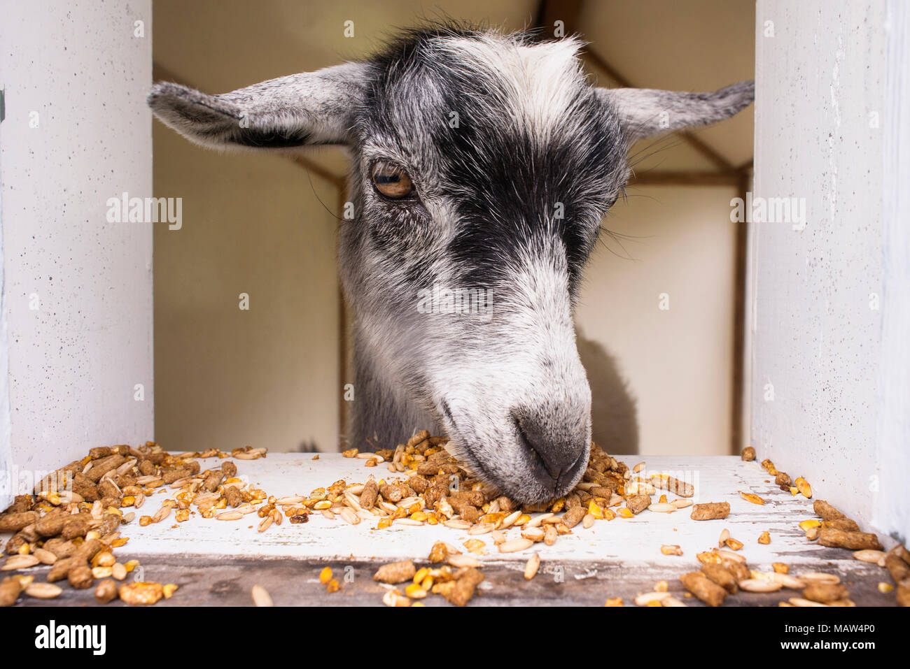 A close up of a goat eating grain and pellets. - Stock Image