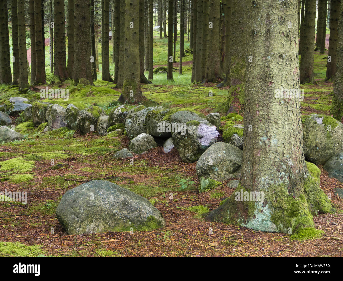 Trunks of conifers, moss and an old stonewall fence, forest floor in Rogaland Arboret in Sandnes Norway - Stock Image