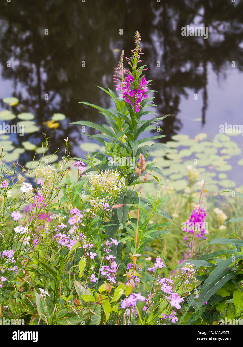 Rosebay, Chamaenerion angustifolium, strikingly pink wildflowers, natural beauty at the edge of a pond in Oslo Norway Stock Photo