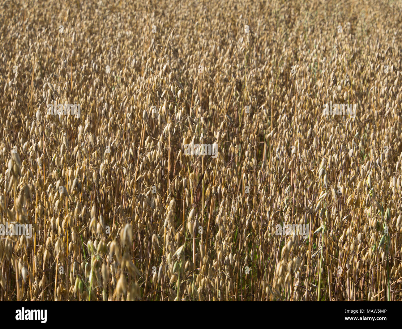 Norwegian oat field with yellow ripe grain, a healthy cereal here farmed in the suburb Østensjø in Oslo Norway - Stock Image