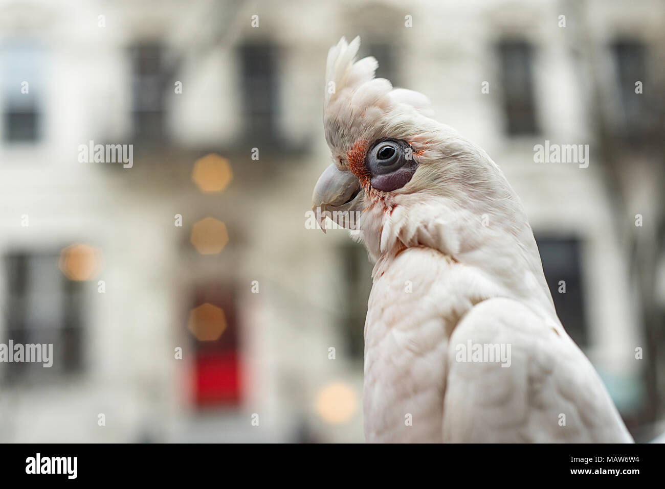 A bare eyed cockatoo with it's crest up outside. Stock Photo