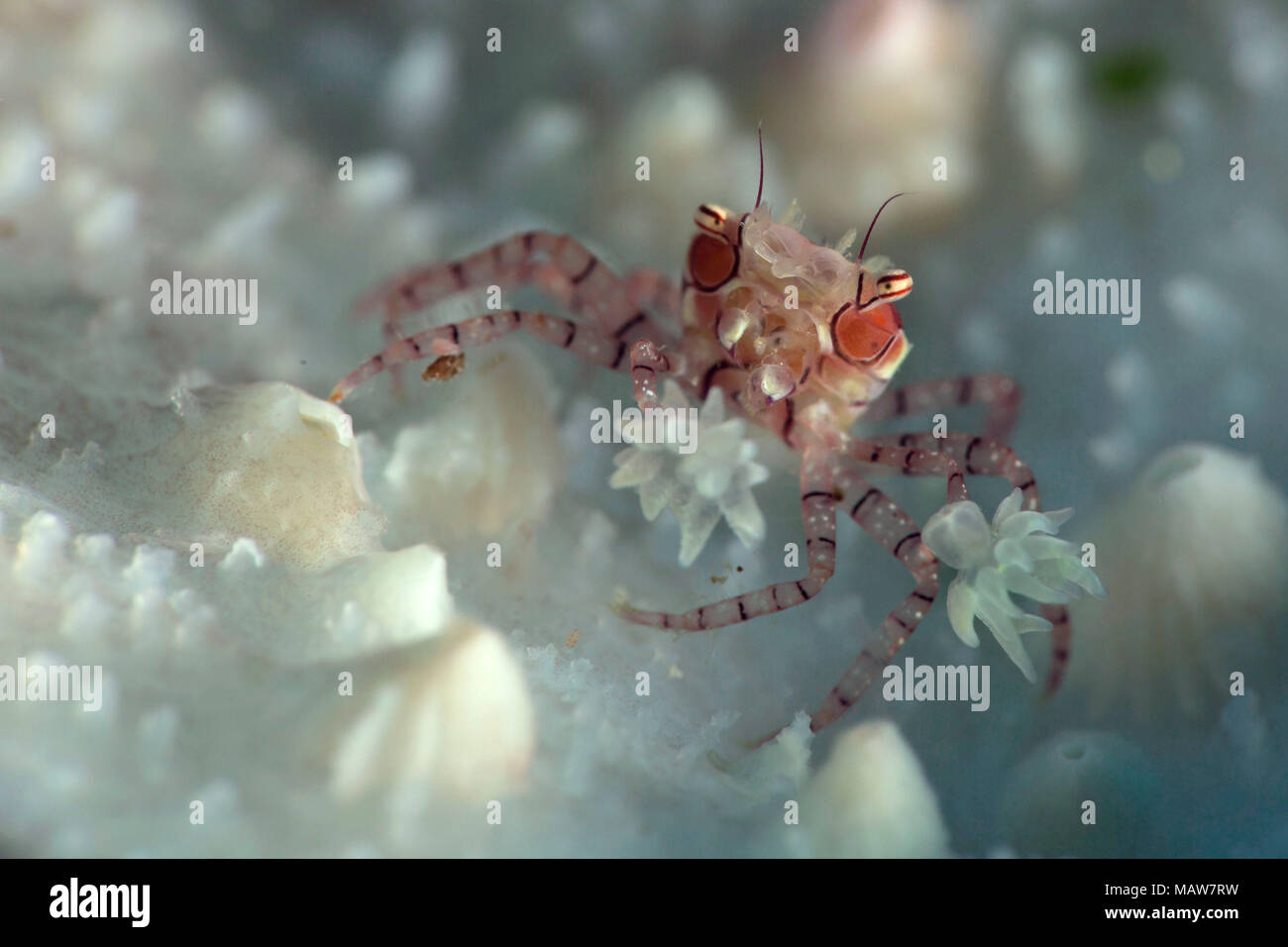 Pom-pom craborboxer crab (Lybia tesselata). Picture was taken in the Banda sea, Ambon, West Papua, Indonesia - Stock Image