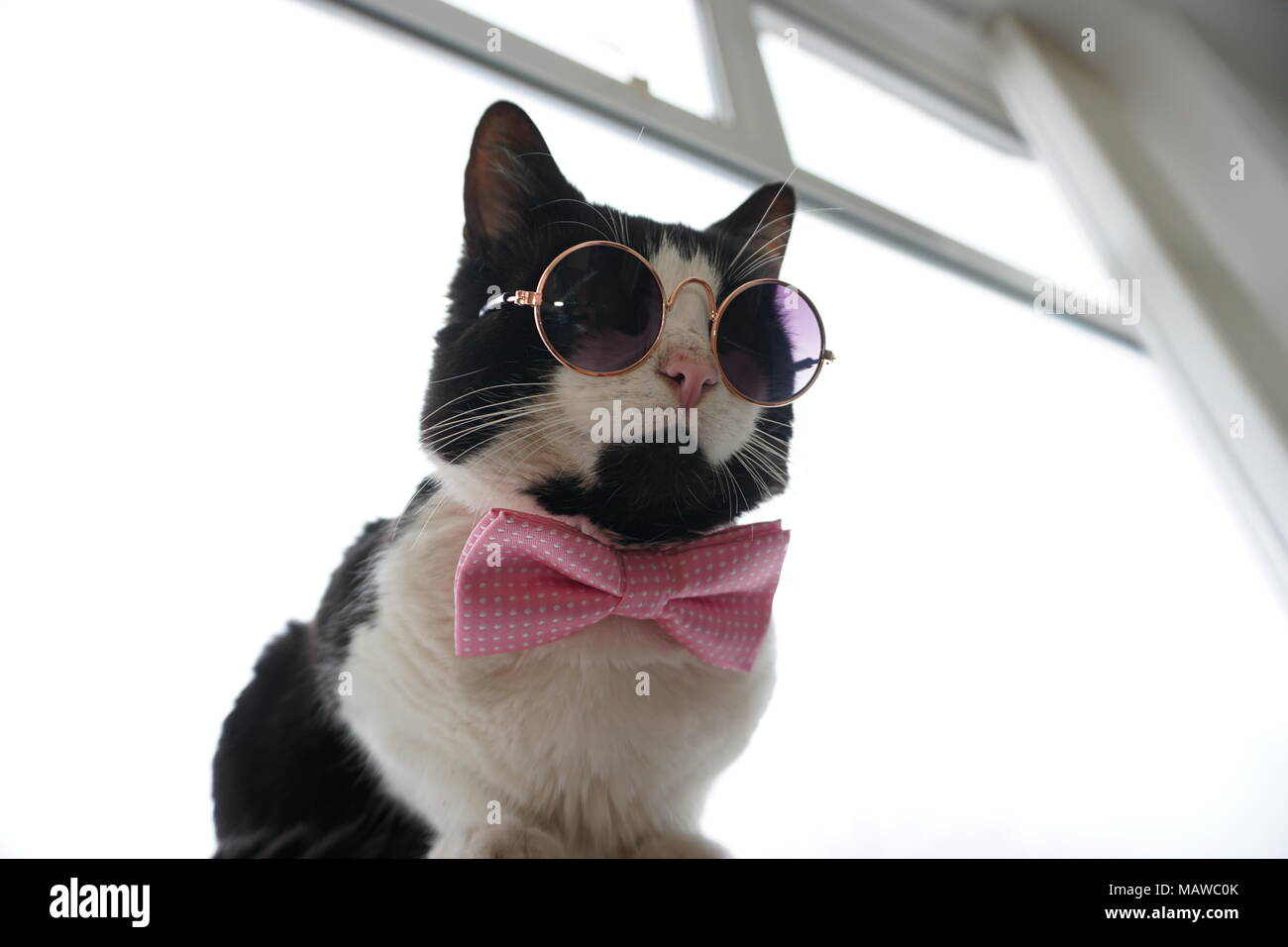 3e37d355c062 Black & White Cat with glasses and bow tie Stock Photo: 178808467 ...