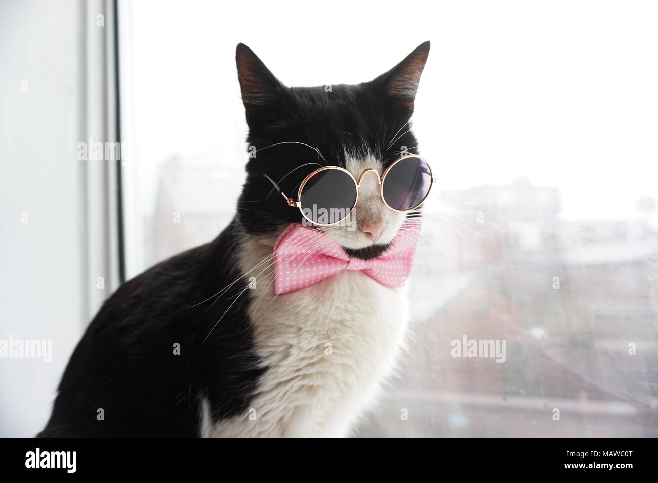 edfbcc213a39 Black & White Cat with glasses and bow tie Stock Photo: 178808472 ...