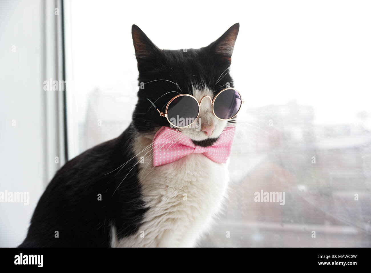 Black & White Cat with glasses and bow tie - Stock Image