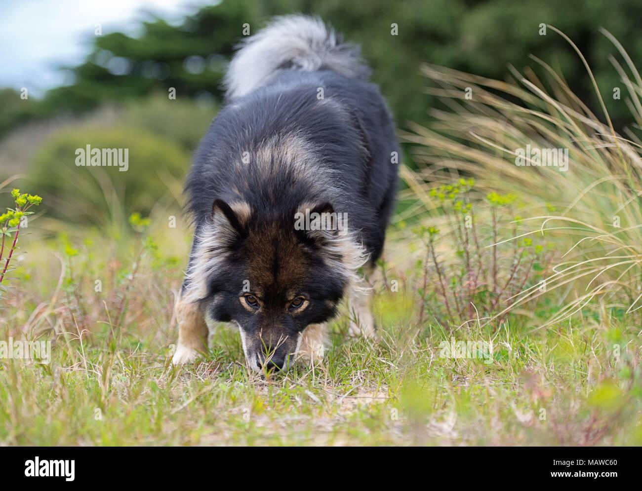 Finnish Lapphund Dog sniffing the ground - Stock Image
