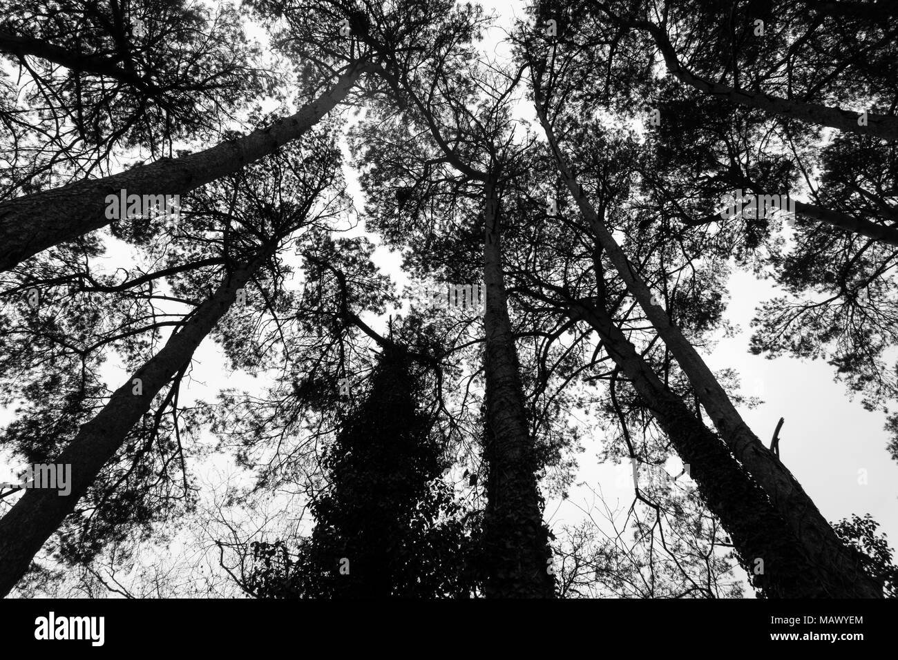 View of some silhouetted tall trees from below in monochrome - Stock Image