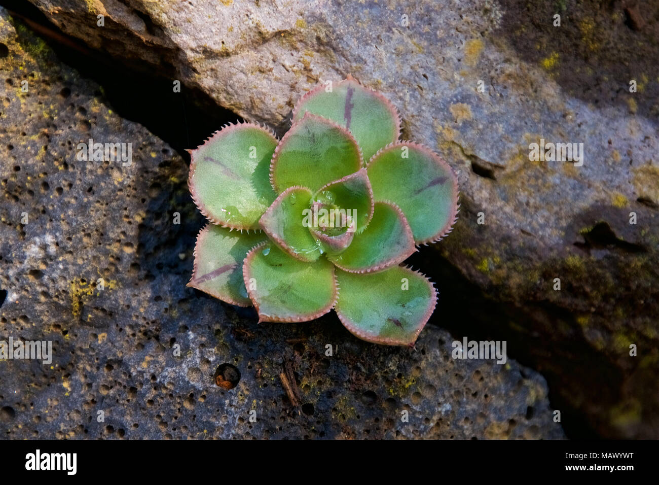 A small tree houseleek (Aeonium sp.) plant within a stone wall in El Hierro, Canary Islands, Spain - Stock Image