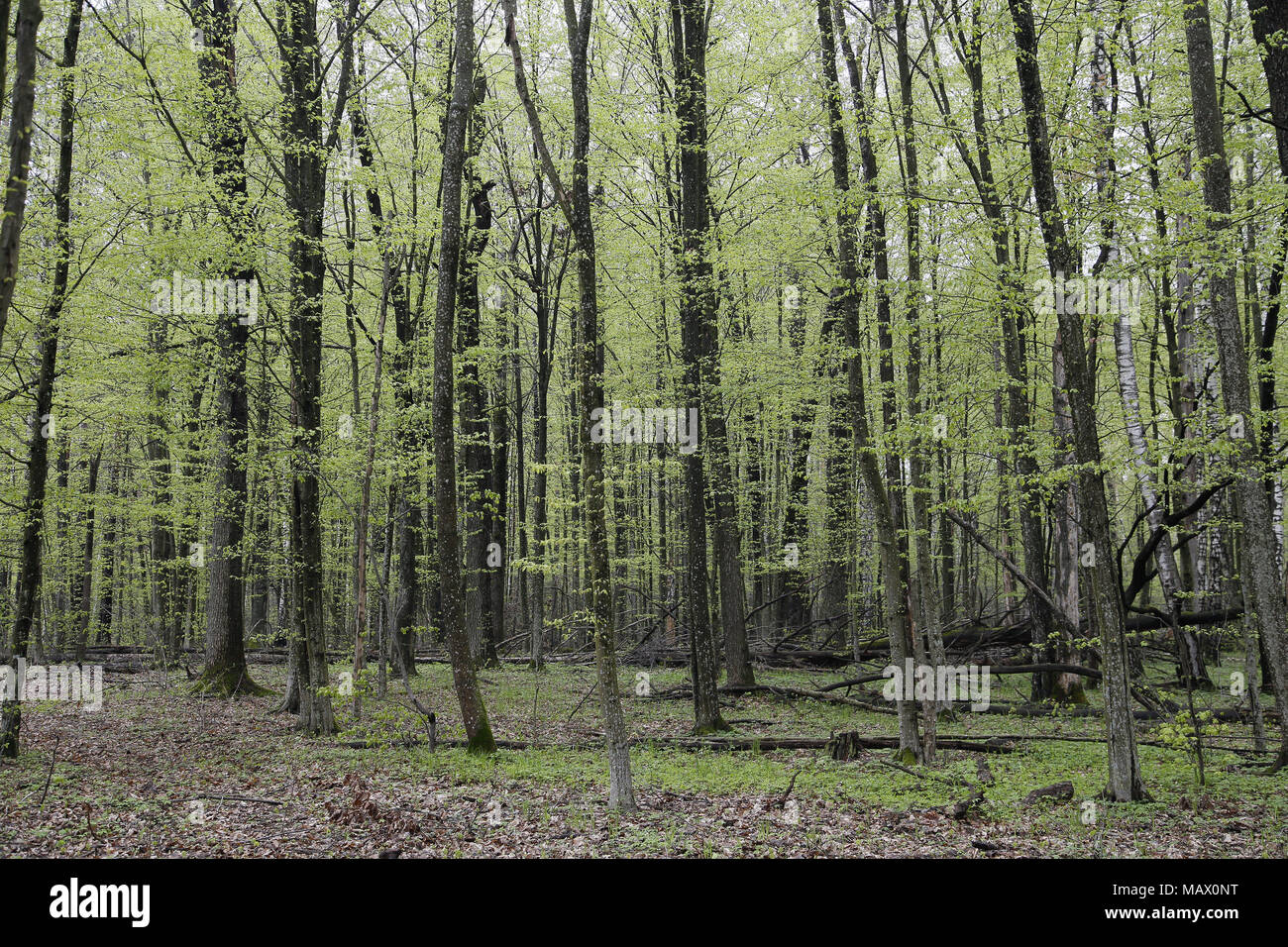 Woodland in Belarus - Stock Image