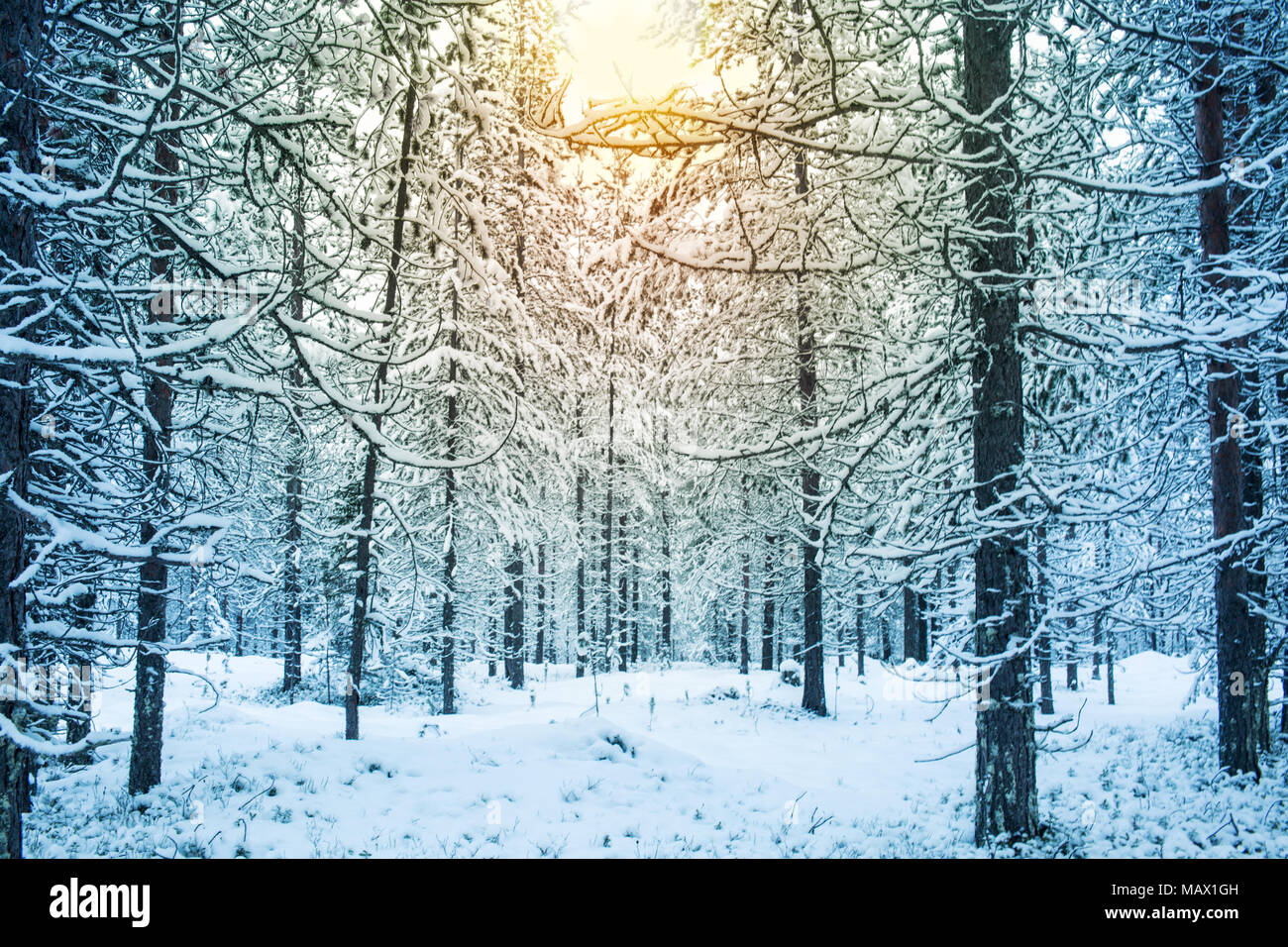 Beautiful Snowy Day With Sunlight In A Forest During Winter In Lapland Finland Christmas Greeting Card Background - Stock Image