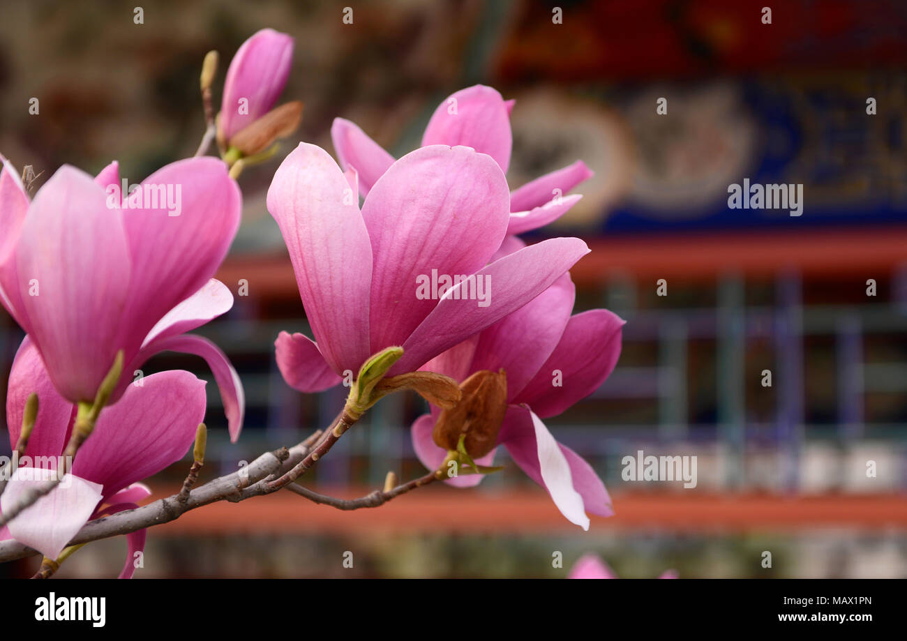 A Magnolia liliiflora tree flowers in a park in central Beijing. Also known as Mulan magnolia, the species originates from southwest China Stock Photo