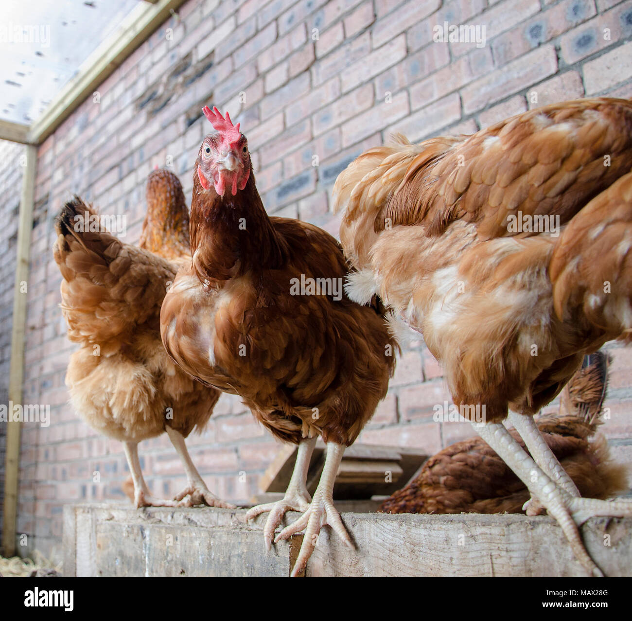 GLASGOW, SCOTLAND - AUGUST 16 2013: A group of ISA Brown hens in a sand pit but only one looks towards the camera. - Stock Image