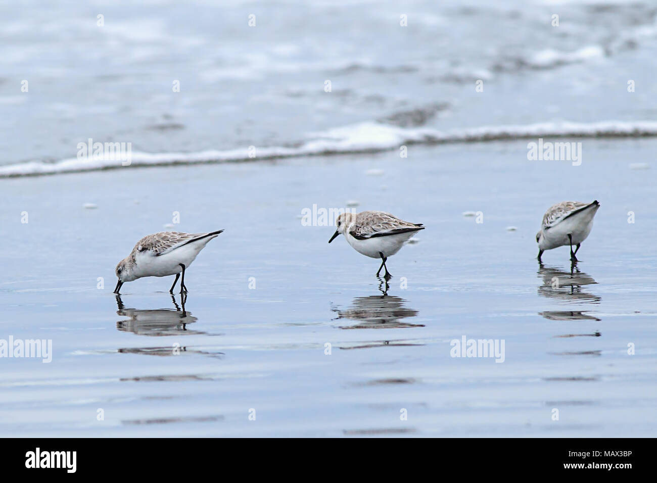 Three sanderling birds looking for food on Del Ray Beach north of Seaside, Oregon. - Stock Image
