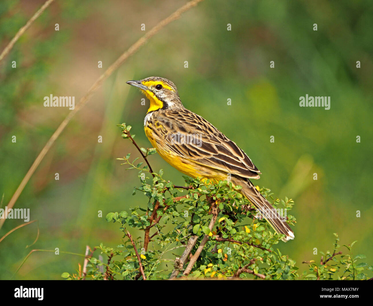 Yellow-throated Longclaw  (Macronyx croceus) with catchlight in the eye perched on a low bush in the grasslands of the Masai Mara, Kenya, Africa - Stock Image