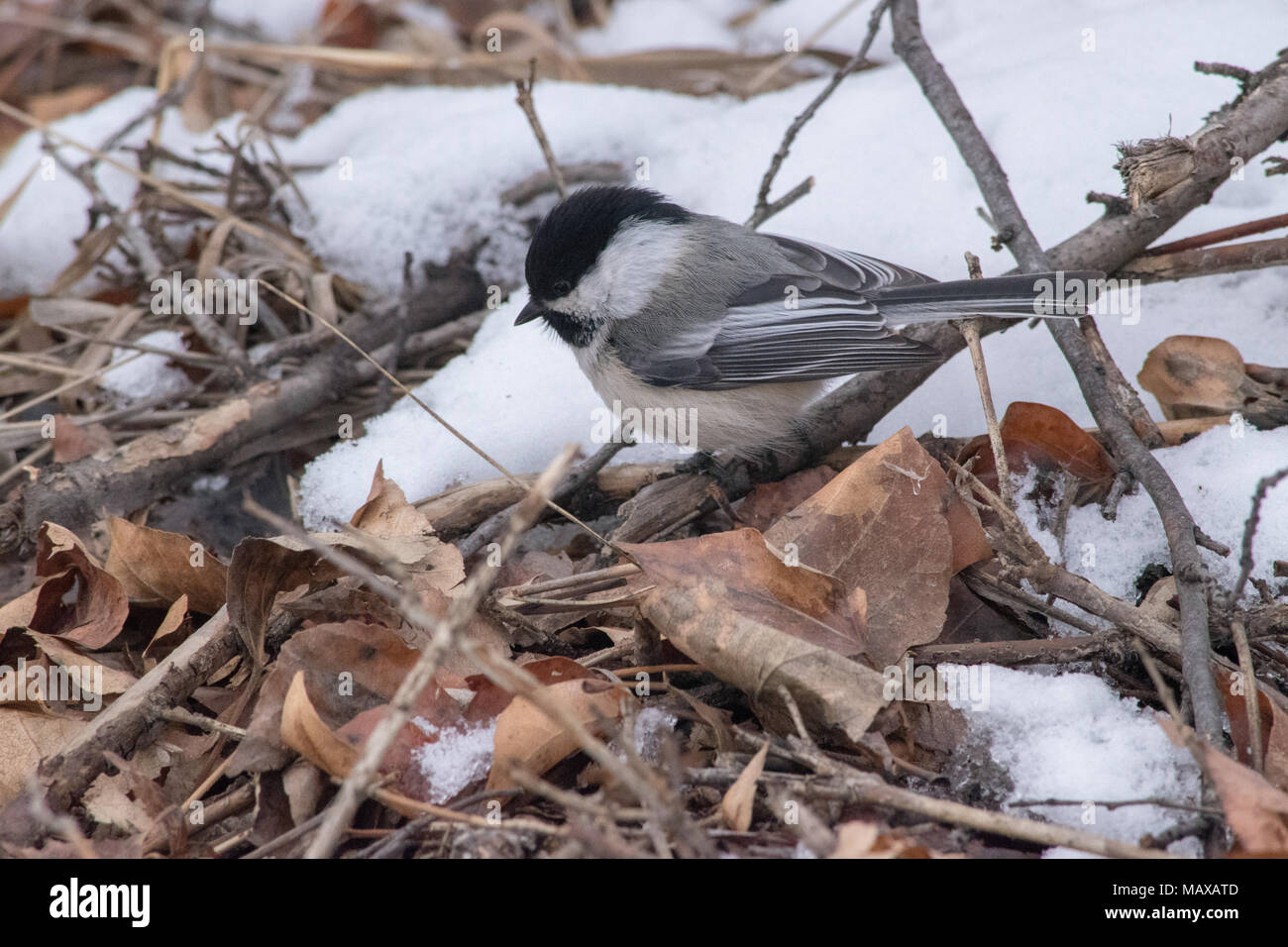 Black Capped Chickadee playing in leaves at the Inglewood Bird Sanctuary in Calgary, Alberta. Stock Photo